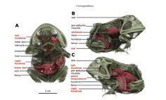 frog inside frog, pac man frog, Argentine Horned Frog, Ceratophrys ornate, Lithobates pipiens, Northern Leopard Frog
