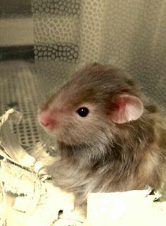 Long Haired Hamster Petsmart 32