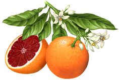 Botanical illustration of a whole blood orange on a branch with leaves, orange blossoms and a cut blood orange half.