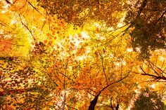 Autumn Canopy ❖ Couvert forestier automnal by Lucie Gagnon on 500px