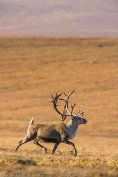 Bull caribou, rangifer tarandus, prances across the tundra north of the Brooks range, Arctic, Alaska. Arctic Animals, Animals And Pets, Nature Animals, Caribou Hunting, Alaska, Deer Species, Deer Food, Moose Deer, Arctic Tundra