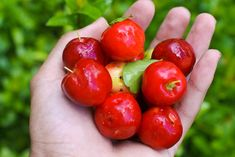 Acerolas - My abuela had a small tree and we would pick and eat these all the time...so good ;)