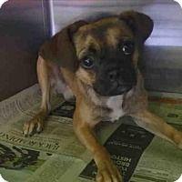 Encino California Pug Meet Chachi A For Adoption Https Www