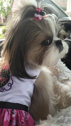 Loving the Minnie Mouse outfit! This Shih Tzu is going to Disney Land or at least a fun Dog Day out on the town.