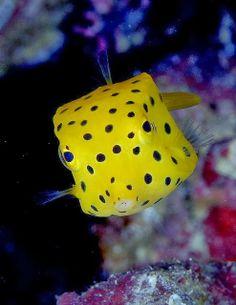 Yellow Box-fish - ocean and sea life Underwater Creatures, Underwater Life, Ocean Creatures, Beautiful Creatures, Animals Beautiful, Pretty Animals, Fauna Marina, Salt Water Fish, Marine Fish