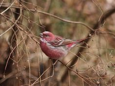 Pallas's Rosefinch Carpodacus roseus portenkoi オオマシコ ...