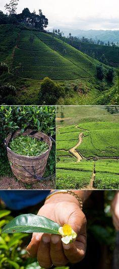 Tea Country, Sri Lanka I LOVE TEA. Visiting a tea plantation, yes please! Oh The Places You'll Go, Places To Travel, Places To Visit, Voyage Sri Lanka, Maldives Destinations, Le Sri Lanka, Sri Lanka Holidays, Destination Voyage, Plantation