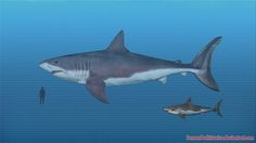 Megalodon's notable not just for physical prowess, but a surprising degree of intelligence (if it shares this with the great white) and most importantly having the longest tenure of any apex predator. Description from sameerprehistorica.deviantart.com. I searched for this on bing.com/images