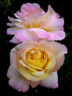 "Rosa ""Madame Meillant"""