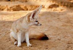 7 strange and beautiful fox species Fox Breeds, Fox Eat, Fox Information, Fox Species, Fox Stock, Bat Eared Fox, Fennec Fox, Foxes Photography, Cute Animal Videos