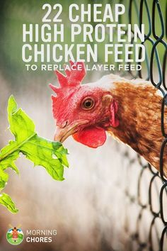 22 Cheap High Protein Chicken Feed Options to Replace Layer Feed(Chicken Backyard Country) Cheap Chicken Coops, Portable Chicken Coop, Best Chicken Coop, Backyard Chicken Coops, Building A Chicken Coop, Chicken Feed Diy, Growing Chicken Feed, Chicken Roost, Best Egg Laying Chickens