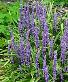 Liriope muscari purple passion H&S 45cm. Flowers all the way through from Aug to Nov. Great for underplanting.