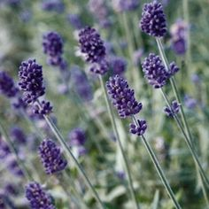 Swallowtailgardenseds.com California. Seeds. (Vincenza Blue lavander seeds - lavandula angustifolia - Perennial Flower Seeds)