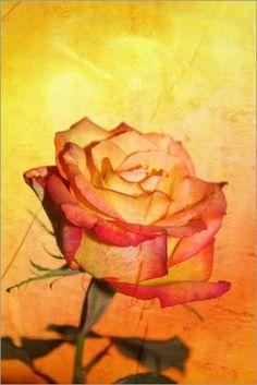 Poster 70 x 100 cm: Rose Orange 2 von Christine Bässler - hochwertiger Kunstdruck, neues Kunstposter Christine Bässler http://www.amazon.de/dp/B00FDMPTTM/ref=cm_sw_r_pi_dp_JLXvub193TKRX