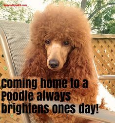 COMING HOME TO A POODLE ALWAYS BRIGHTENS ONES DAY!!!