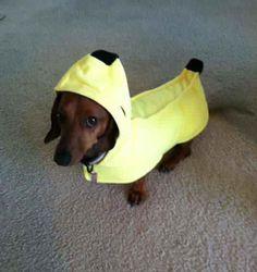 Banana? BANANA! #dachshund #halloween #costume