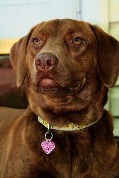 "Elmore 1 year old... Chesapeake Bay Retriever / Lab Mix. ""Sedge"" - Typical dog photo..."