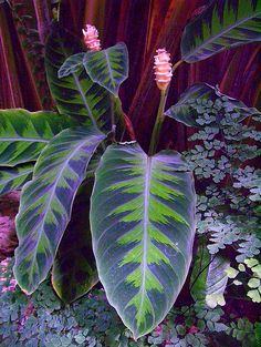 Cheap plant seeds, Buy Quality indoor flower gardening directly from China calathea plant Suppliers: Purple Calathea Plants Seeds Ice Cream Indoor Flowers Garden Decoration Bonsai Pot for Office pieces Unusual Plants, Exotic Plants, Cool Plants, Exotic Flowers, Tropical Plants, Tropical Gardens, Black Flowers, Tropical Garden Design, Tropical Backyard