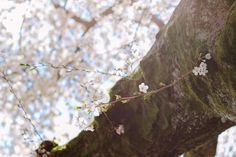 Check out Cherry Blossom tree by Hello Goodbye studio on Creative Market