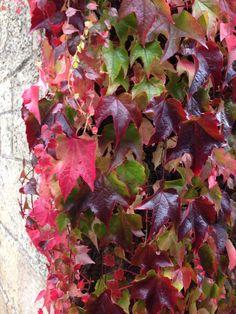Fabulous autumn foliage on this Parthenocissus tricuspidata.
