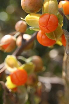 Orange berries.