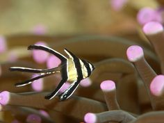 Banggai Cardinalfish (Pterapogon kauderni). PIN CHANGED TO LINK TO ARTICLE ABOUT BREEDING THIS SPECIES. Link is to an update article on the original article about breeding this species, which is linked in the article as well.