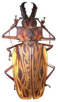 Trictenotomidae - Pesquisa Google