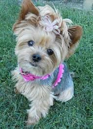 Image result for APEARA yorkie images