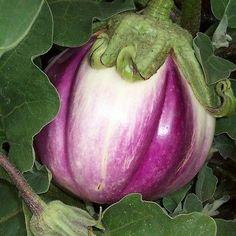 30+ Eggplant Italian Rosa Bianca Vegetable Seeds , Under The Sun Seeds
