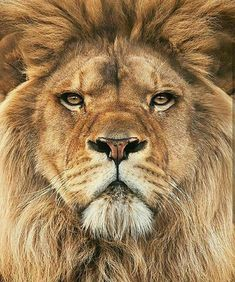 No wonder Jesus is referred to as 'The Lion of Judah'!~~Lion by Steve MacKay~~ Lion Pictures, Animal Pictures, Beautiful Cats, Animals Beautiful, Animals And Pets, Cute Animals, Wild Animals, Fierce Animals, Nature Animals