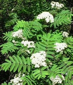Elder flower tincture uses and dosage  Elderflower tincture has traditionally been used for*:  Colds and flu  Hayfever  Sinusitus  Catarrh  Catarrhal deafness   Topically it is used to:  Soften and soothe the skin  Heal burns, cuts and sctratches       Active Compounds:    Elderflower contains flavonoids including rutin,  isoquercitrineand kamperol: the hydrocyanic glycoside sambunigrine;tannins, essential oil