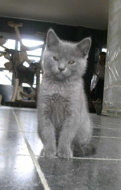 Chartreux kitten, so beautiful, I'm saving up for one (or two) ...