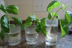 Pár maradék szál bazsalikomból egy új növényünk is lehet! Fotó: thyme2gardennow.blogspot.com