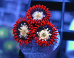 Hornswoggler Zoas - When I have the money I will be getting a few frags of these