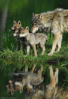 Wolf and three pups