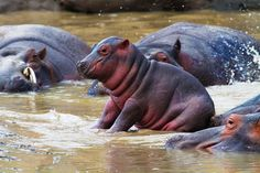 Stay back. The odds of being killed by a hippo greater than any other African mammal, except Man, of course