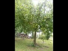 Letný rez jabloní part Youtube, Plants, Plant, Youtubers, Youtube Movies, Planets