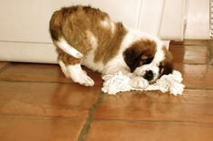 Former Pinner - my st bernard puppy :D Free Puppies, Cute Dogs And Puppies, Little Puppies, Baby Dogs, Baby Animals, Cute Animals, Dog Pictures, Animal Pictures, St Bernard Puppy