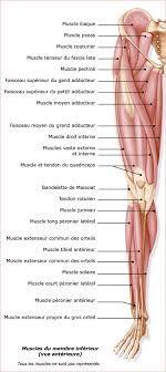 Planche anatomique membre inférieur