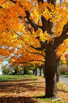 Tree Identification & Mapping, Maple Tree Identification & Mapping, Hash tree In computer science, hash tree may refer to: Landscaping With Rocks, Backyard Landscaping, Garden Trees, Trees To Plant, Red Maple Tree, Baumgarten, Tree Identification, Tree Leaves, Autumn Garden