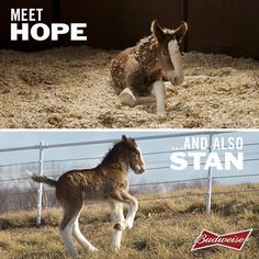 Stan the Budweiser Clydesdale - According to Budweiser's Twitter feed, the Super Bowl contest drew so many name ideas (60,000+), the company decided to bestow one of them on another newborn, who will now be known as Stan (named in honor of late St. Louis Cardinals player Stan Musial).