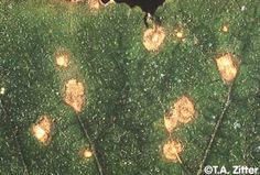 """Lesions of Ulocladium leaf spot on cucumber do not develop the """"shot hole"""" appearance typical of angular leaf spot."""