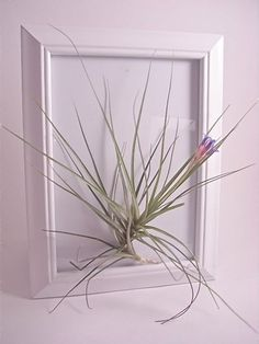Living Art Frame/Tropical Airplant (Tillandsia)