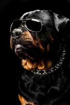 """500px / Photo """"Rottweiler attitude """" by Amélie GD"""