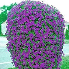 Care: How To Grow and Keep Petunia Flowers Blooming - Growing Petunias: How To Care For And Keep Petunias Blooming -Petunia Care: How To Grow and Keep Petunia Flowers Blooming - Growing Petunias: How To Care For And Keep Petunias Blooming - Petunia Care, Petunia Plant, Petunia Flower, Petunia Hanging Baskets, Hanging Flower Baskets, Hanging Plants, Potted Plants, Small Plants, Container Gardening Vegetables