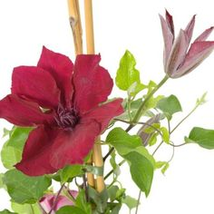 Clematis Nubia Boulevard ® Clematis, House Plants, Annual Plants, Potted Plants, Roots, Shade Perennials, Indoor House Plants, Foliage Plants, Houseplants
