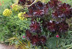 Aeonium arboretum Zwartkop Black Rose Aeonium