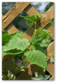 Cucumber plants love to climb! Providing a cucumber cage, ladder, or trellis will save lots of space in your garden, and make it easier to find and harvest cucumbers before they become too large!