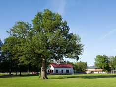 An oak tree in the Estonian island of Saaremaa has been voted the European Tree of the Year.