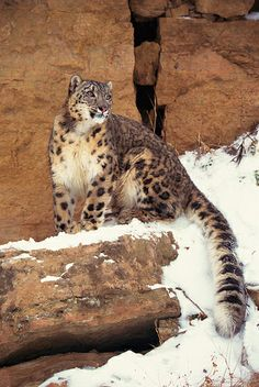 ☀Snow leopard on cliffs by Exodus Travels* Can you imagine how beautiful this would be to see in person in the wild? (Bunyip edit: oh my goodness love that tail! Pretty Cats, Beautiful Cats, Animals Beautiful, Big Cats, Cool Cats, Cats And Kittens, Siamese Cats, Animals And Pets, Cute Animals